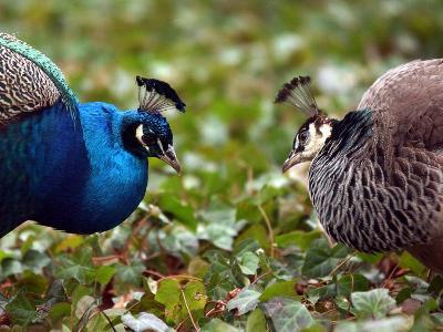 Peacocks in Lazienki Park, Warsaw, Poland