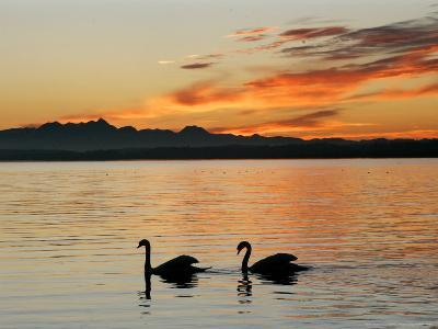 Two Swans Glide across Lake Chiemsee at Sunset near Seebruck, Germany