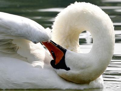 Swan on the river Rhine near Breisach, Germany