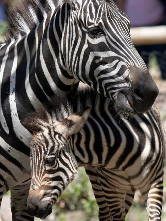 A Male Baby Zebra Named Roger