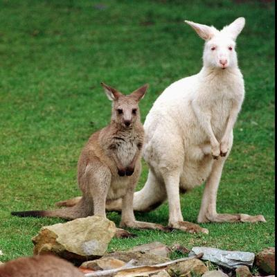 Mulali, Right, a Two-Year-Old Albino Grey Kangeroo Stands Next to Her Joey