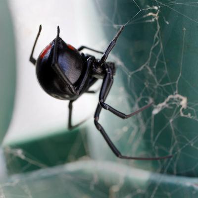 A Female Black Widow Spider