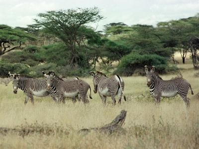 Zebras Pause on the Savannah in the Shaba Game Reserve