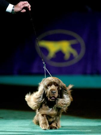 Sussex Spaniel at the 133rd Westminster Kennel Club Dog Show at Madison Square Garden