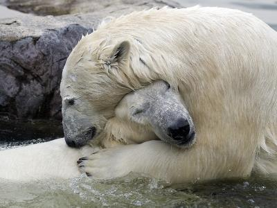 Polar Bears at their First Meeting, at the Zoom Erlebniswelt Zoo in Gelsenkirchen