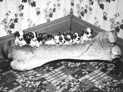 Pups and Bones, Goshen, Indiana, c.1953