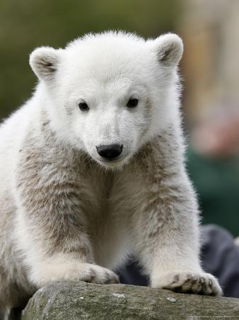 Sick Polar Bear Cub, Berlin, Germany