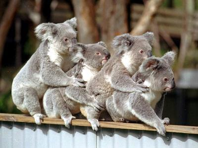 Four Australian Koalas are Shown on a Fence at Dreamworld on Queensland's Gold Coast