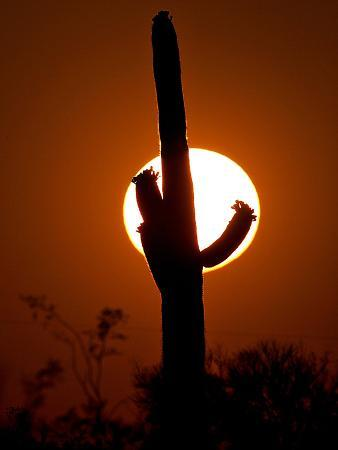 A Saguaro Cactus is Silhouetted as the Sun Sets Over the Southwestern Desert