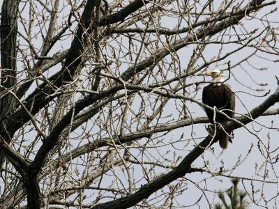 A Bald Eagle Takes a Break in a Tree Overlooking the Pentagon