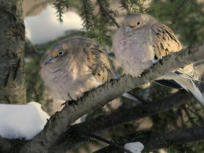 Two Mourning Doves Fluff up Their Feathers to Stay Warm