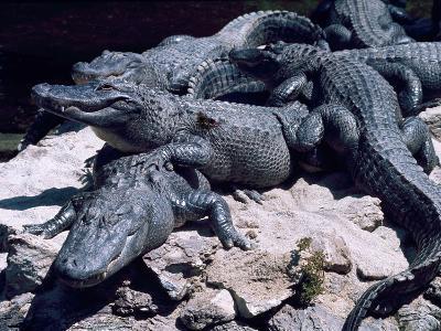 Alligators Bask in the Sun in Louisiana's Bayou Country