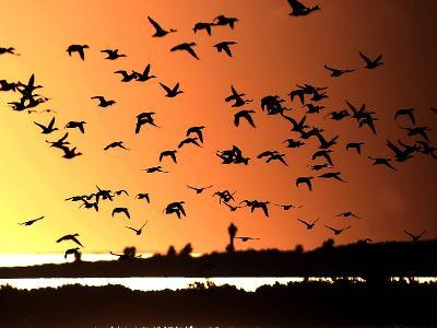 A Flock of Waterfowl