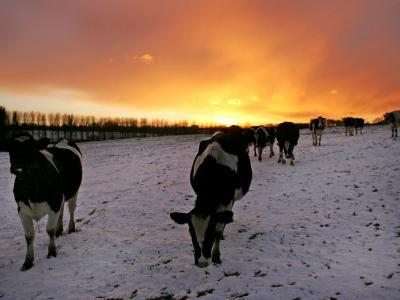 Cows Walk in a Snow Covered Field as Sunset Falls