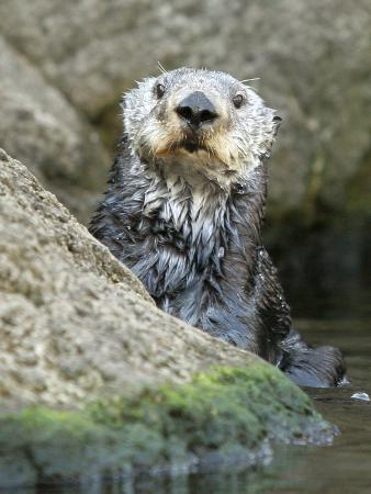 A Sea Otter Looks out from Behind a Rock