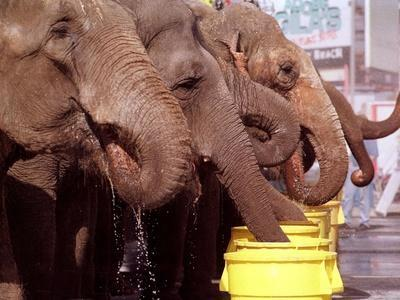 Asian Elephants Belonging to the Ringling Bros. and Barnum & Bailey Circus Take a Water Break