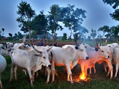 A Fulani Nomad Herds Cattle at Dusk in Abuja, Nigeria