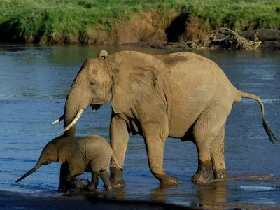 An Elephant and Her Calf Cross a River