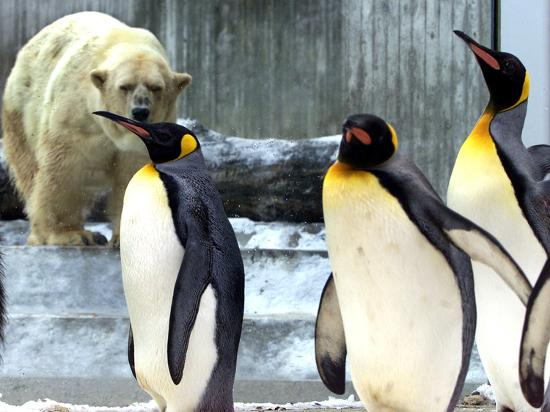 A Polar Bear Watches from His Enclosure While Some King Penguins Walk by at  the Zoo