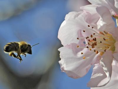 Bee Flies Towards the Blossom of an Almond Tree in a Park in Freiburg, Southern Germany