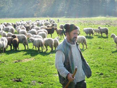 A Shepherd Stands by His Sheep in Miclosoara, Romania, October 2006