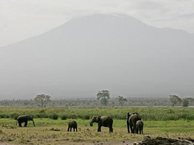 A Herd of Elephant Graze with Mount Kilimanjaro