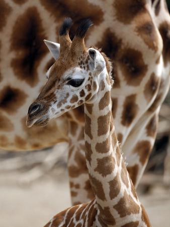 DEU Giraffenbaby