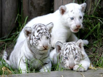 APTOPIX Argentina White Tigers