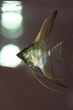 Angel Fish XI