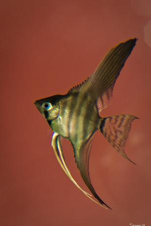 Angel Fish IV