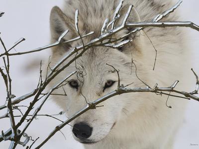 Zoo Wolf 1
