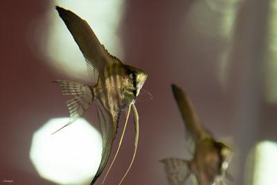 Angel Fish III