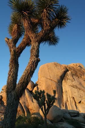 Joshua Tree Vertical