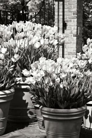 Spring Tulips 1