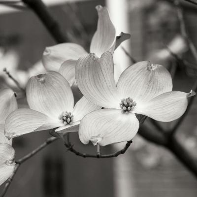 Dogwood Blossoms II BW Sq