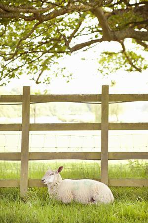 Pasture Sheep II