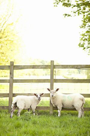 Pasture Sheep I