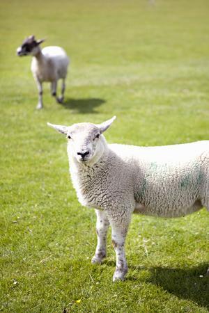 Pasture Sheep IV