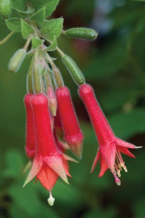 Fuchsia Bloom I