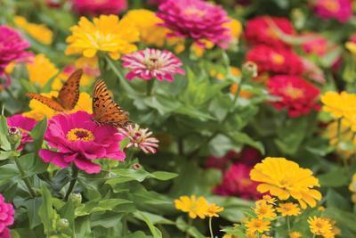 Butterfly Field II