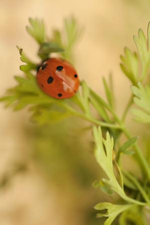 Lady Bug II