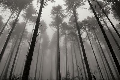 Redwoods II