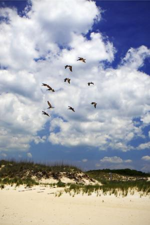 Pelicans over the Dunes V