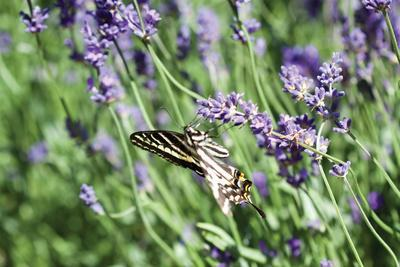 Lavender and Butterfly I