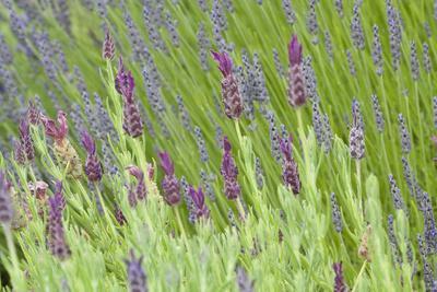 Lavender Sway I
