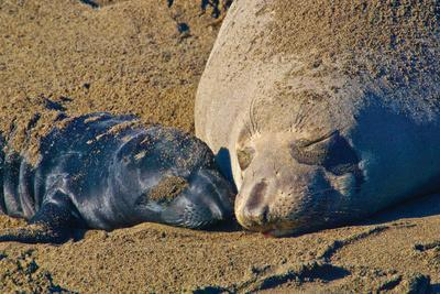 Elephant Seals II
