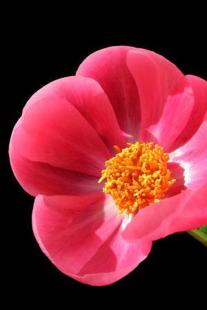 Pink Peony I