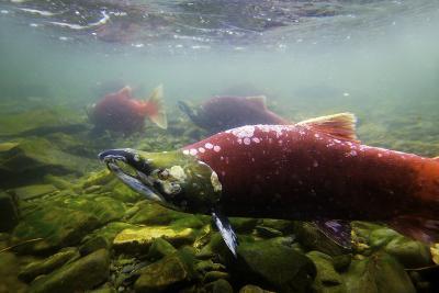Sockeye Salmon II