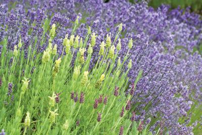 Flowing Lavender I