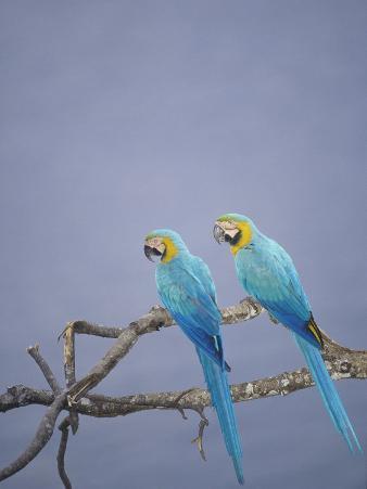 Blue and Yellow Macaw, Upper Tambopata River, Peruvian Amazon